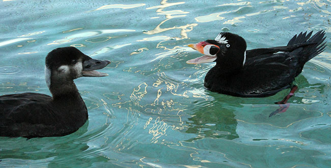Two Surf Scoters, one female, left, and the other a male, enjoy a special moment after being cleaned of mystery goo at San Francisco Bay Center. Photo by Cheryl Reynolds