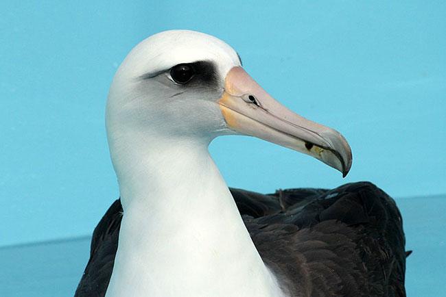 Laysan Albatross. Photo by Cheryl Reynolds