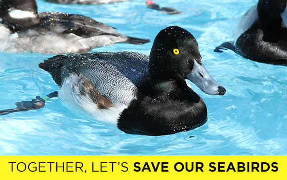 SOS-Greater-Scaup-mystery-event-2015-CR