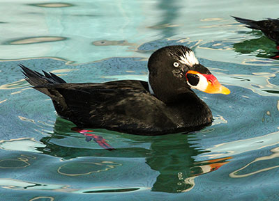 Surf Scoter cleaned of goo is recuperating in a pelagic pool at the San Francisco Bay Center. Photo by Cheryl Reynolds