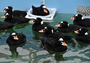 """Hundreds of Surf Scoters were among the 323 seabirds brought into care during the """"Mystery Goo"""" event."""