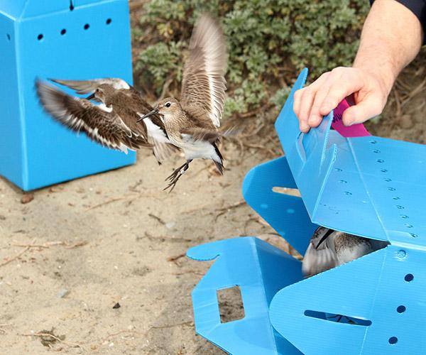 Dunlins, a shorebird prevalent in San Francisco Bay, is released in Oakland.