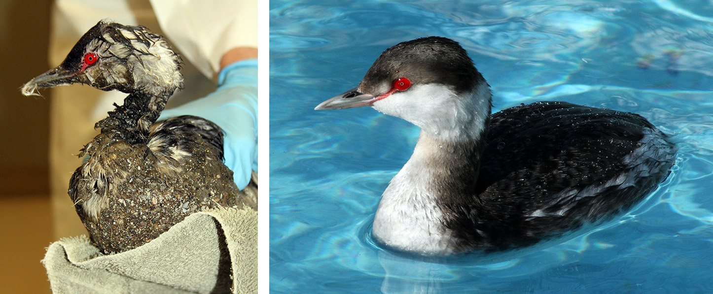 "Horned Grebe aka ""Gummy Bear"" came with super gunked feathers, 3 weeks later it was released clean."