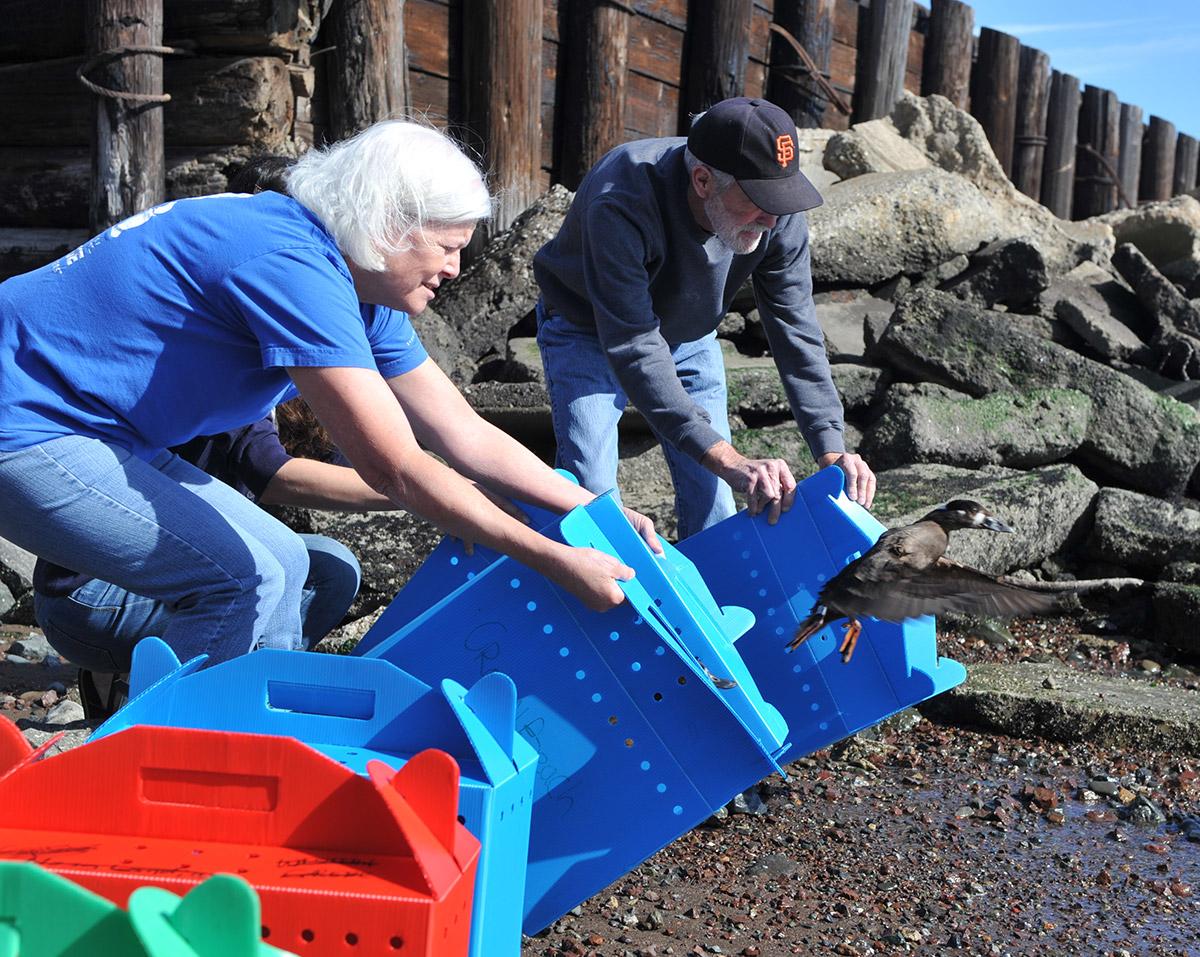 Volunteer Kathy Koehler and husband, Bill, release female Surf Scoters.