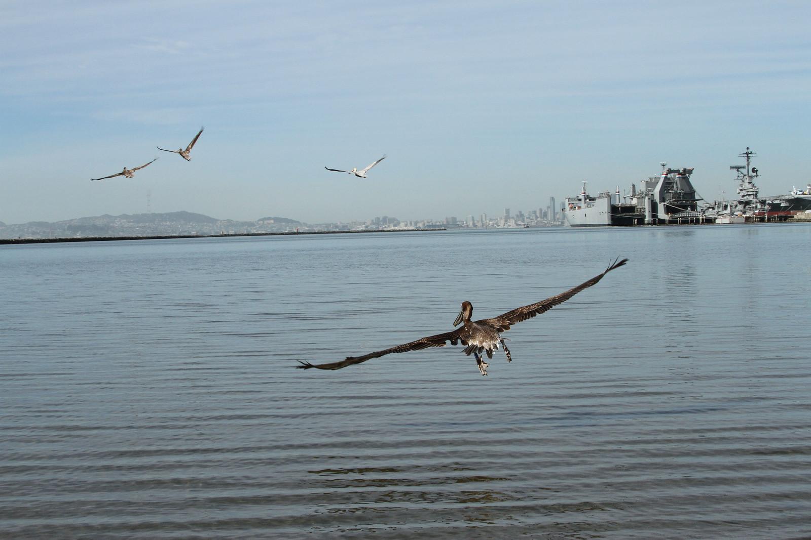 Pelicans-Alameda-Release-SF-skyline