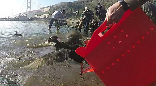 Photo of Surf Scoter release mystery goo 2015 response