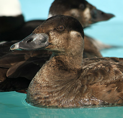 Female Surf Scoter. Photo by Cheryl Reynolds