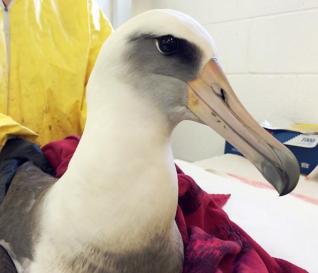 Laysan-Albatross-2-web