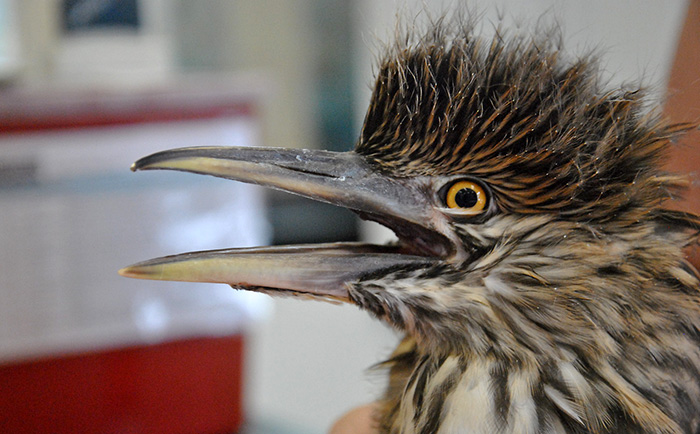 Black Crowned Night Heron in care at our Los Angeles Center. Photo by Kylie Clatterbuck