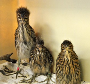 Black Crowned Night Herons in care at our Los Angeles Center. Photo by Kylie Clatterbuck