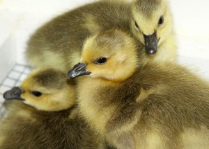 Three goslings are some of the other baby birds in care this month at IBR. Photos by Cheryl Reynolds