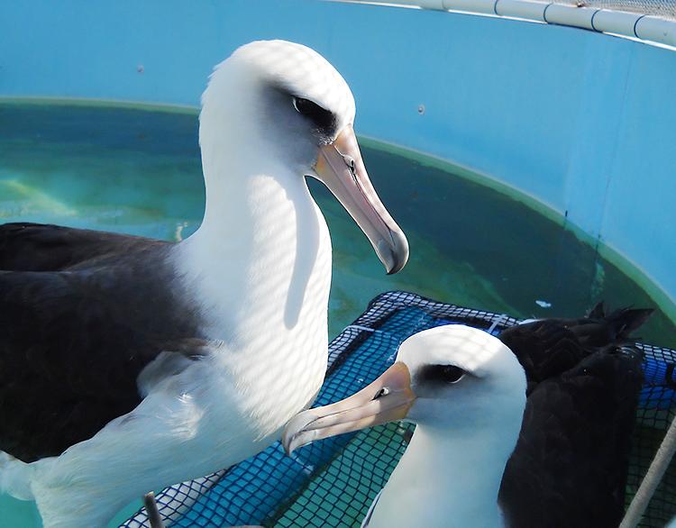 two-Laysan-Albatross-LA-Center