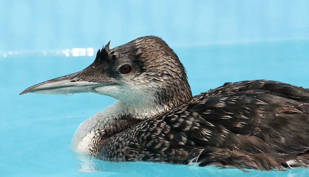 Photo of Common Loon treated at International Bird Rescue