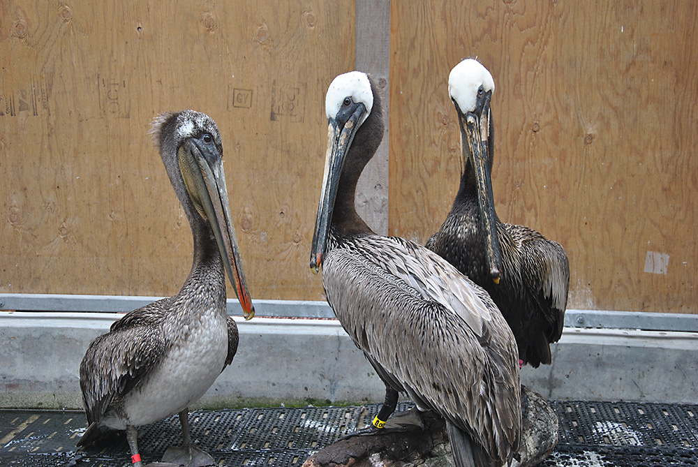 Photo cleaned Brown Pelicans at International Bird Rescue