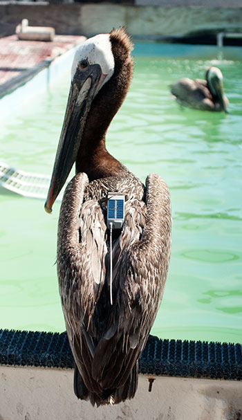 Satellite tracking device between the Pelican's wings.  Photo: Justin Cox, UC Davis