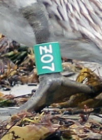 Photo of special green Z banded released Brown Pelican from Refugio Oil Spill