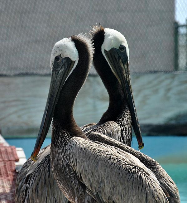Pelicans-cleaned-Refugio-0085-X3-web