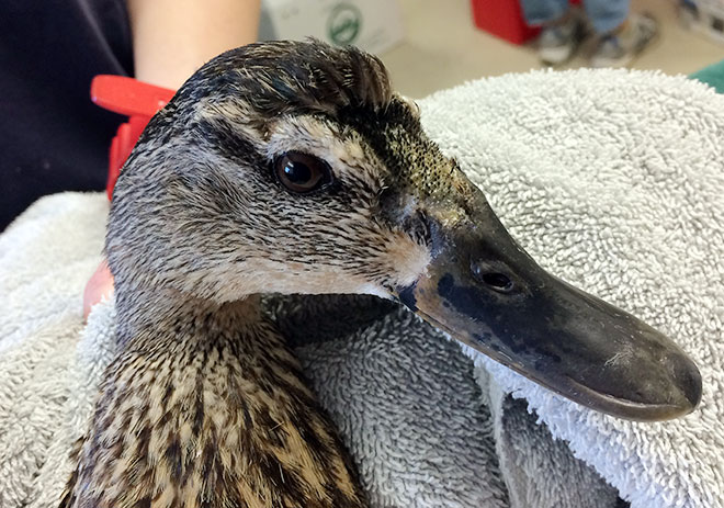Photo: Mallard Duck with her skin totally healed and feathers coming in.
