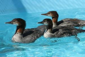 Common Merganser chicks in care at SF Bay Center 7/16/15