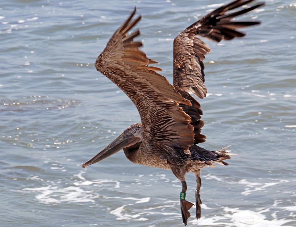 Photo of Brown Pelican release