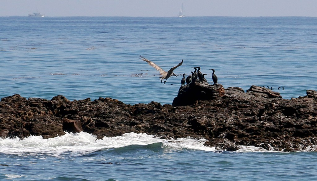 Released Pelican join other seabirds – including Cormorants – on rocks off White