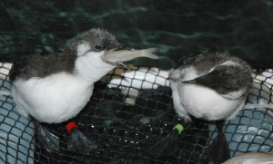 Small mouth, big belly: Hungry Common Murres, including many young seabirds, are filling the San Francisco Bay Center. Photo: Cheryl Reynolds