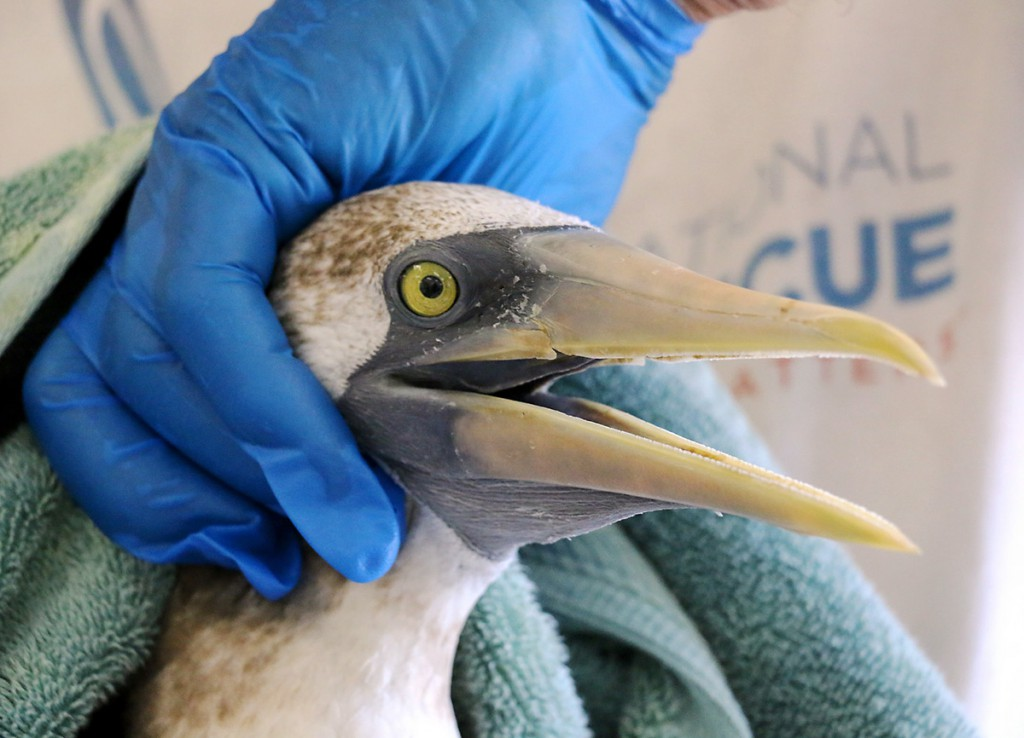Photo Masked Booby exam at International Bird Rescue