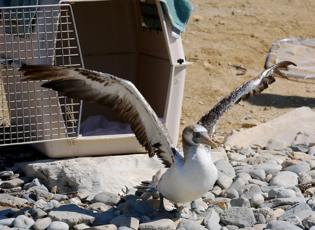 Photo Masked Booby release