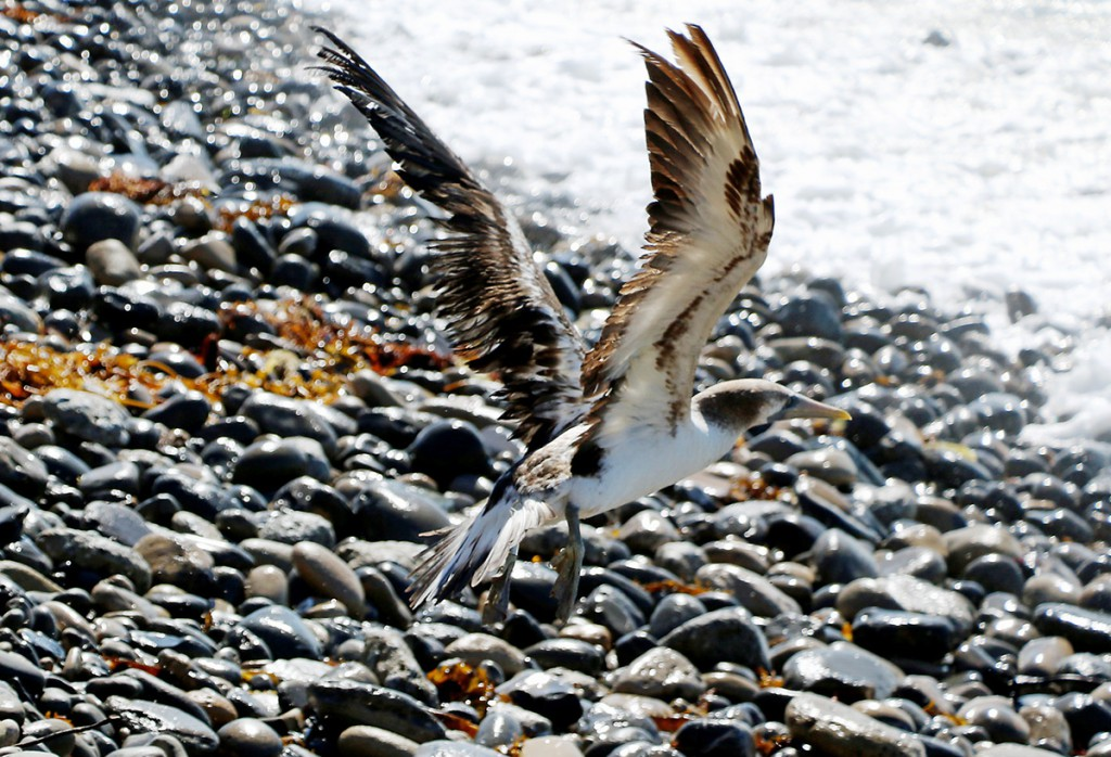Photo of Masked Booby release at White Point, San Pedro by International Bird Rescue