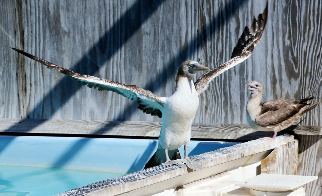Photo Masked Booby and Red-Footed Booby at International Bird Rescue