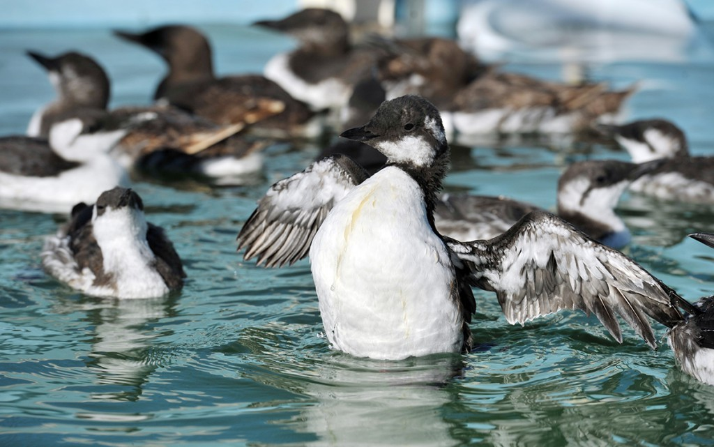 Nearly 500 hungry, sick Common Murres have come into care since July. Photo by Russ Curtis