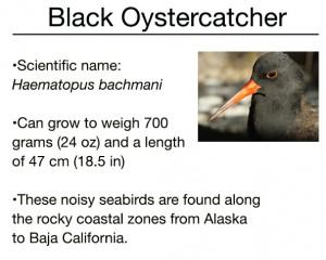 Graphic on Black Oystercatcher by International Bird Rescue