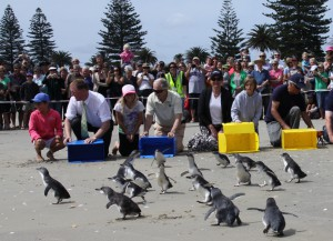 Release of 60 Little Blue penguins at Mt Maunganui beach following Rena Oil Spill. Photo by Graeme Brown