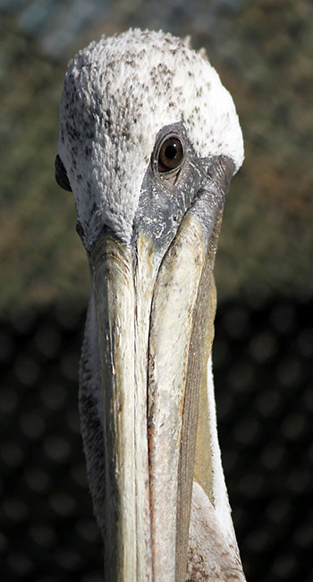 Photo of Brown Pelican in care at International Bird Rescue