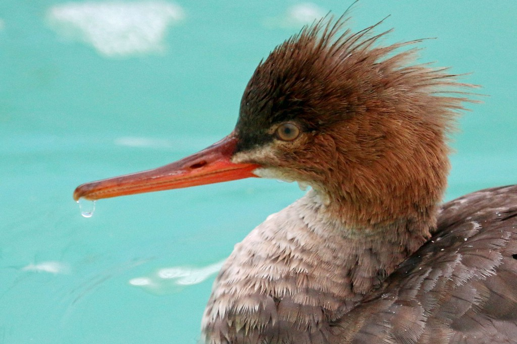 Photo of Red-breasted Merganser