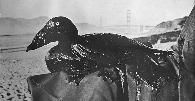 Photo of Oiled Surf Scoter from 1971 SF Bay spill