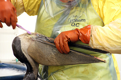 Oiled Brown Pelican treated during May 2015 Refugio Pipeline Spill.