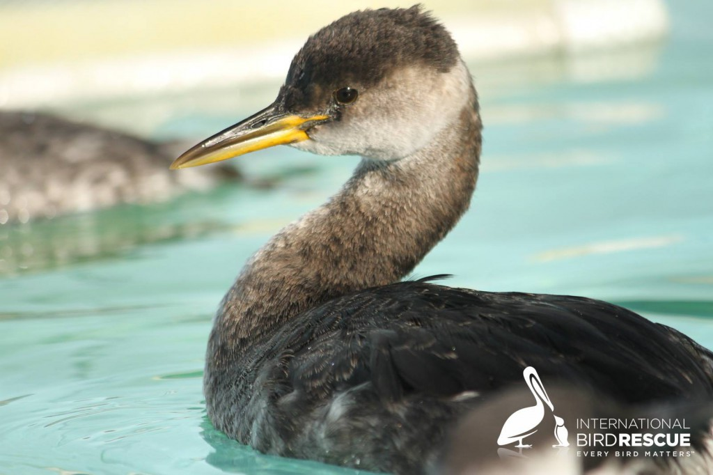 Photo of Red-necked Grebe in a pool at International Bird Rescue