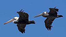 pelicans-2-fly-thumb