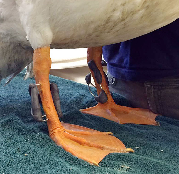 American White Pelican standing on exam table during a check-up. Both external fixators are visible; they are made of steel pins that pass through the bone and a combination of metal and epoxy that holds the external portions of the pins in the correct position. The odd shapes are due to the shapes of pelican legs, each fracture's different need for support, and the need for the bird to be able to both stand and crouch comfortably.