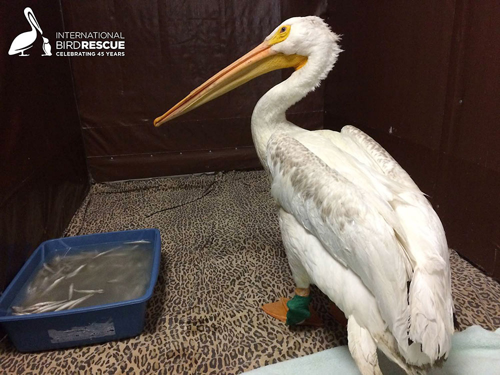 Photo of American White Pelican with two fractured legs i care at International Bird Rescue