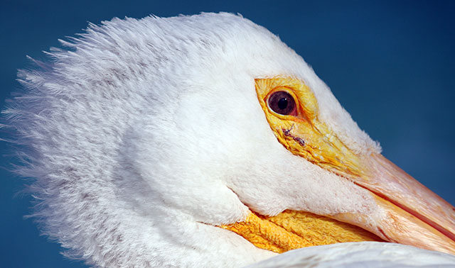 Photo of American White Pelican resting while recovering from his second post-gunshot surgery