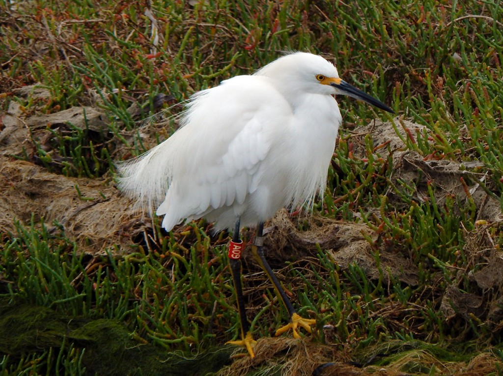 A09 Snowy egret was also photographed and reported in Alameda in April 2016. Photo by Cindy Margulis