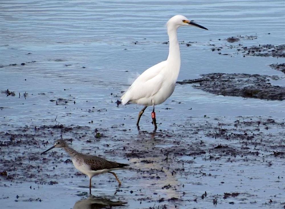 snowy-egret-a09-1