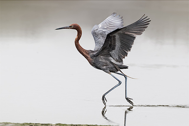 Photo of Reddish Egret by Patricia Ware