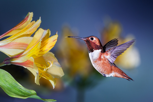 Photo of a Allen's Hummingbird by Patricia Ware