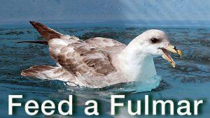 Photo Northern Fulmar in care at International Bird Rescue