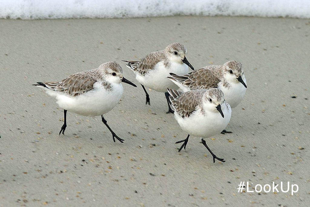 Snowy Plovers on beach