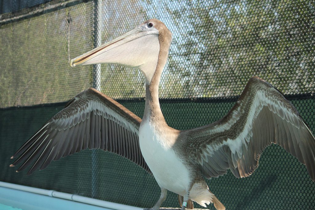 Brown Pelican spreads its wings in care at International Bird Rescue