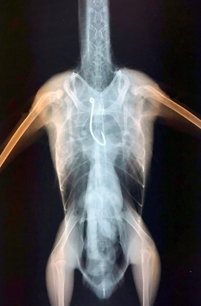 Image X-ray showing fish hook stuck in the Western Gull esophagus, right near the bird's heart